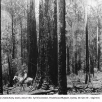 A blackbutt forest on the Comboyne Plateau