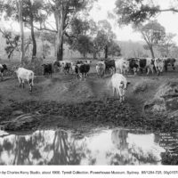 Cattle coming to water
