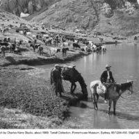 Cattle grazing near Mt Kosciuszko, a fragile environment