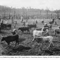 Founding a dairy farm