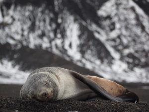Fur seal asleep on Deception Island