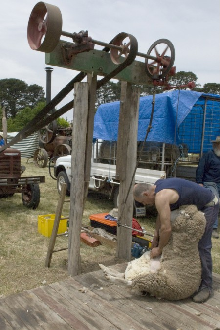 Sheep shearing powered by a tractor engine