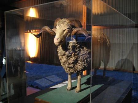 Taxidermy Spanish Merino sheep in display case