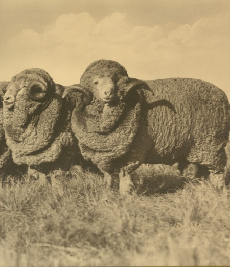 Two Peppin Merino rams photographed at Wanganella in 1915.