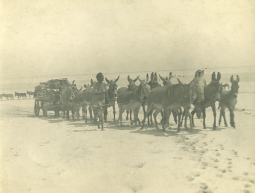 Sepia photograph of a wagon stacked with items. The wagon is being pulled along a beach by a team of approximately 14 donkeys and is guided by a person on either side.
