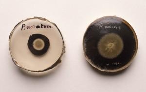 Penicillium Notatum Samples