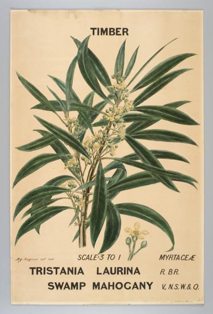 Botanical illustration of 'Tristania laurina'