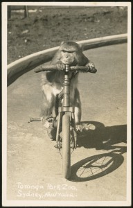 Postcard of a monkey cyclist on the circus arena at Taronga Park Zoo c.1948