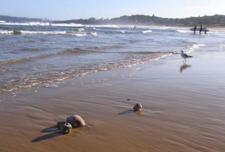 Photograph of Pumice at Curl Curl Beach