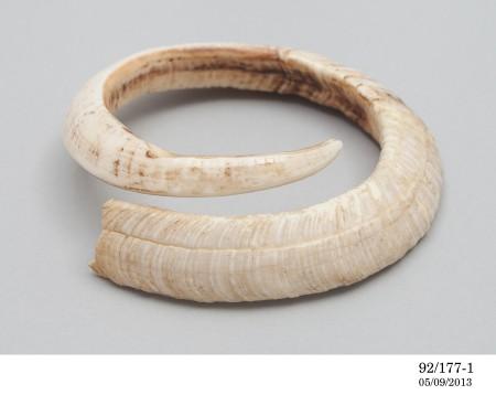 Boar's tusk, Fiji, c.1890