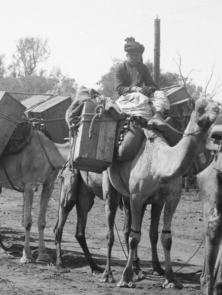Black and white photograph of a man dressed in a turban and traditional afghan clothing sitting on top of a camel loaded with packages.