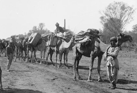 Black and white photograph of a line of camels laden with packages and strung together on a rope. There are two men wearing turbans standing beside them and one seated on top of a camel.