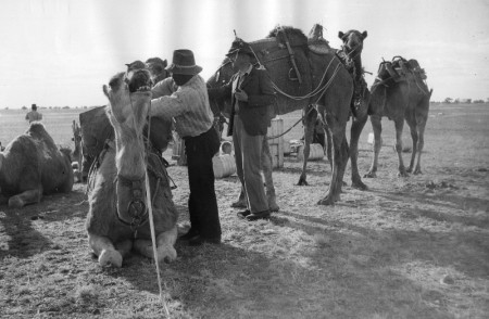 Black and white photograph of two men adjusting the saddle of a seated camel. Four other camels stand on the right already saddled.