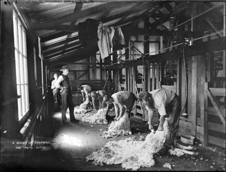 Photograph of sheep being sheared