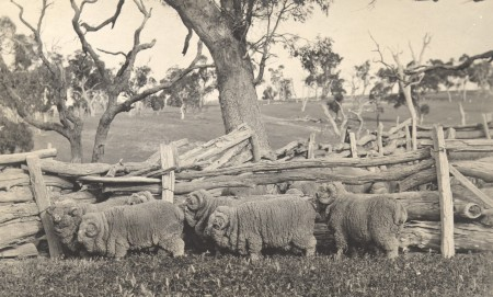 A black and white photograph of six rams standing beside a fence made from tree logs. In the background is a field and scattered trees.