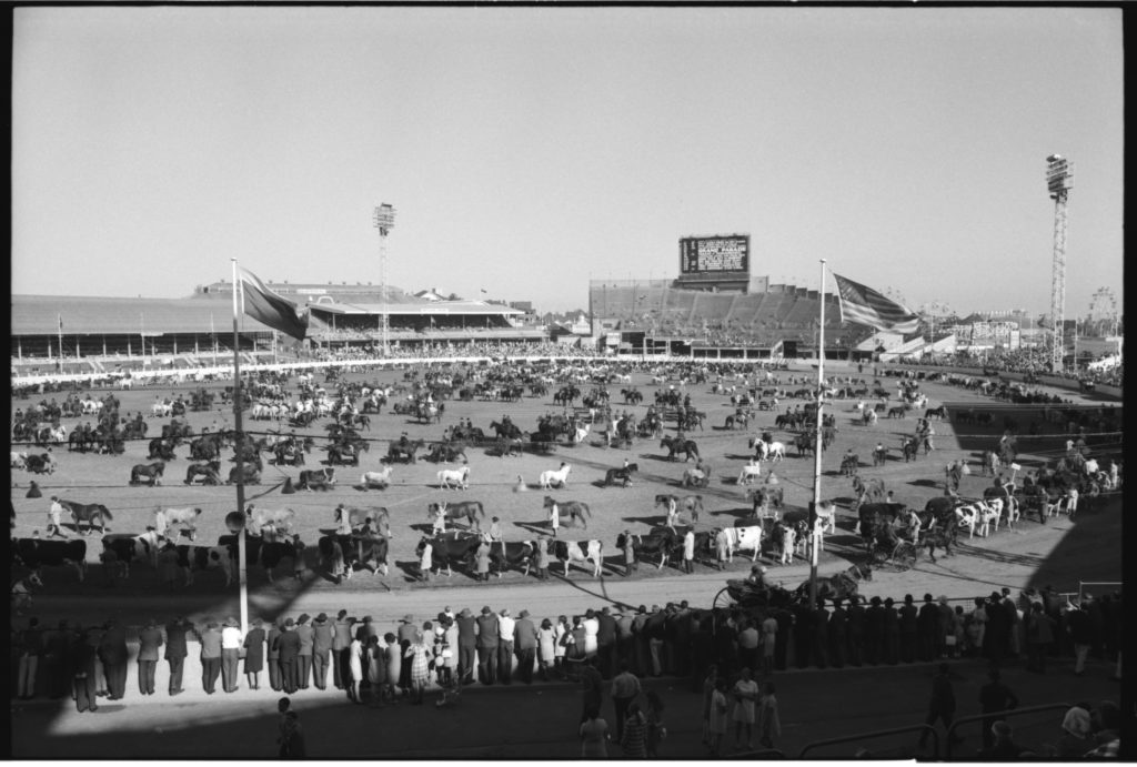 Black and white photograph showing a large arena with rows of horses and cattle being ridden or lead around in circles. In the foreground spectators are watching and in the background are grandstands.