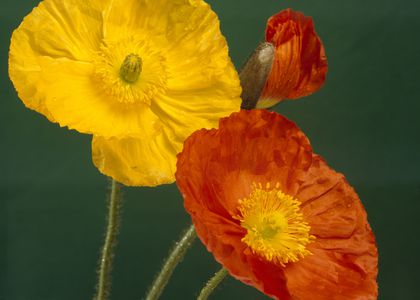 Photograph of colourful poppies